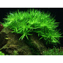 Heteranthera zosterifolia (in-vitro) puszka 5cm
