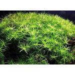 Heteranthera zosterifolia - in-vitro Aqua-Art