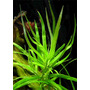 Heteranthera zosterifolia - RA koszyk XXL