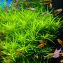 Heteranthera zosterifolia - RATAJ (koszyk)