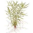 Heteranthera zosterifolia TROPICA in-vitro (w żelu)