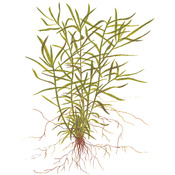 Heteranthera zosterifolia - TROPICA in-vitro 12GROW