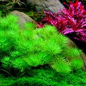 Hottonia inflata - in-vitro Aqua-Art
