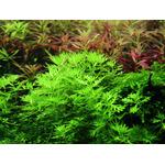 Hottonia palustris - TROPICA (koszyk)