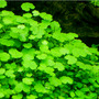 Hydrocotyle dissecta - RATAJ (koszyk)
