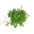 Hydrocotyle japan (wanienka 15x10cm)