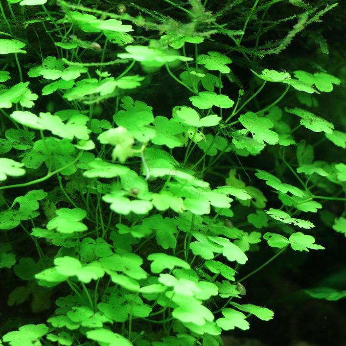 Hydrocotyle japan - RATAJ (koszyk)