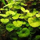 Hydrocotyle leucocephala - RATAJ (koszyk)