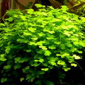 Hydrocotyle sibthorpioides (wąkrotka mini) - RA koszyk XXL