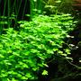 Hydrocotyle sp. japan - in-vitro Aqua-Art