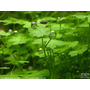Hydrocotyle sp. japan - in-vitro Aqua-Art