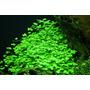 Hydrocotyle tripartita Japan (in-vitro) puszka 10cm XXL