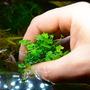 Hydrocotyle tripartita Japan MINI (in-vitro) puszka 10cm XXL - nowość