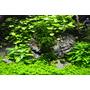 Hydrocotyle tripartita Japan - sadzonka