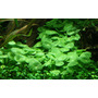 Hydrocotyle verticillata (in-vitro) puszka 10cm XXL