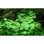 Hydrocotyle verticillata (in-vitro) puszka 5cm