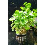 Hydrocotyle verticillata - RA koszyk duży XXL