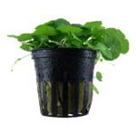 Hydrocotyle verticillata - TROPICA (koszyk)