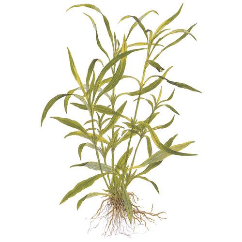 Hygrophila angustifolia (costata) TROPICA (koszyk)