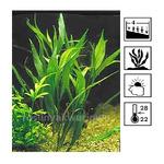 Hygrophila angustifolia - RATAJ (koszyk)