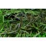 Hygrophila Araguaia (in-vitro) puszka 7cm TROPICA