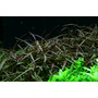 Hygrophila Araguaia - RA koszyk XXL