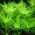 Hygrophila balsamica - RA koszyk XXL