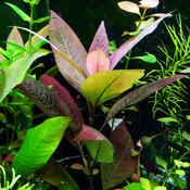 Hygrophila Cherry leaf (koszyk).