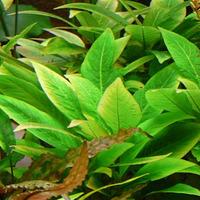 Hygrophila compacta - RA koszyk XXL
