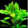 Hygrophila corymbosa orzech - RA koszyk duży XXL