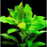 Hygrophila corymbosa orzech - RA koszyk STANDARD