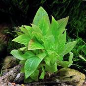 Hygrophila corymbosa - RATAJ (koszyk)
