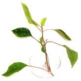 Hygrophila corymbosa - sadzonka