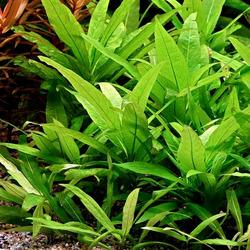 Hygrophila corymbosa species - RA koszyk XXL