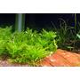 Hygrophila difformis synema - RA koszyk XXL
