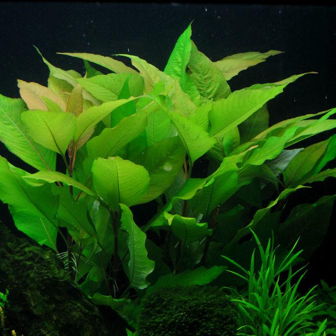 Hygrophila glabra orzech - RA koszyk XXL