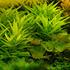 Hygrophila lacustris - RA koszyk XXL