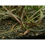 Hygrophila lancea Araguaia (in-vitro) puszka 7cm TROPICA