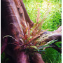Hygrophila pinnatifida (in-vitro) puszka 10cm XXL