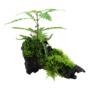 Hygrophila pinnatifida + mech na korzeniu - TROPICA