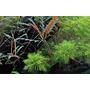 Hygrophila pinnatifida - PLANTACJA (koszyk)