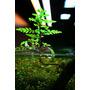 Hygrophila pinnatifida - RA koszyk duży XXL