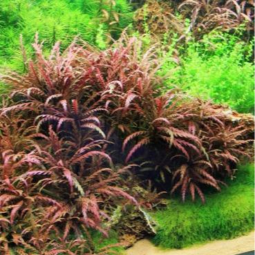 Hygrophila pinnatifida - RATAJ (koszyk)