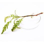 Hygrophila pinnatifida - sadzonka