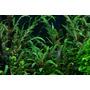 Hygrophila pinnatifida - TROPICA (koszyk)