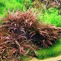 Hygrophila pinnatifida TROPICA (koszyk)