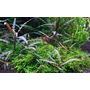Hygrophila pinnatifida - TROPICA in-vitro 12GROW