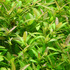 Hygrophila polysperma Rosanervig TROPICA (koszyk)