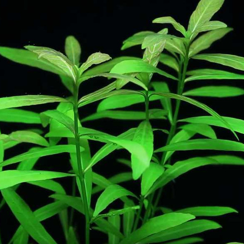 Hygrophila polysperma wielonasienna - RA koszyk XXL
