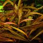 Hygrophila red - RATAJ (koszyk)